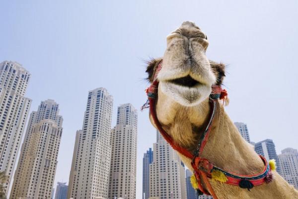 No camel