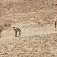Giro Camels